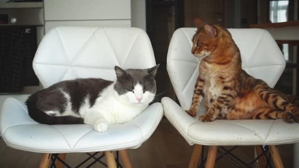 Zwei erwachsene schöne Katzen sitzen auf weißen Stühlen. Hintergrundküche. Eine bengalische Vollblutkatze und eine grau-weiße Straßenkatze den Tramp, den sie aus dem Tierheim nahmen. Glückliche Freunde. Gesunde Haustiere