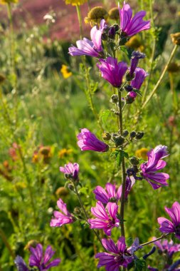 Flora of Sicily, colorful flossom of wild flowers on meadow in mountains close up, production of natural bio honey.
