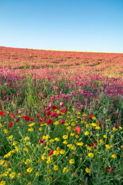 Flora of Sicily, colorful flossom of wild flowers, peas and French honeysuckle, pink sulla flowers on meadow in mountains, production of natural bio honey, floral background