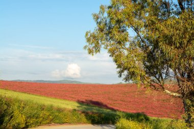 Landscape with red blossom of honey flowers sulla on pastures and  green wheat fields on hills of Sicily island, agriculture in South Italy