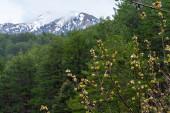 Bílý květ višně v řeckých horách na jaře, květinové pozadí