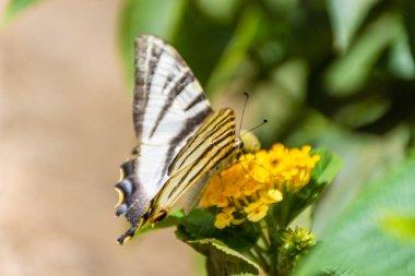 Scarce swallowtail eating yellow flower