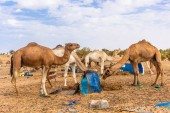 Photo Camels eating hay in the camp of Sahara Desert, Merzouga, Morocco