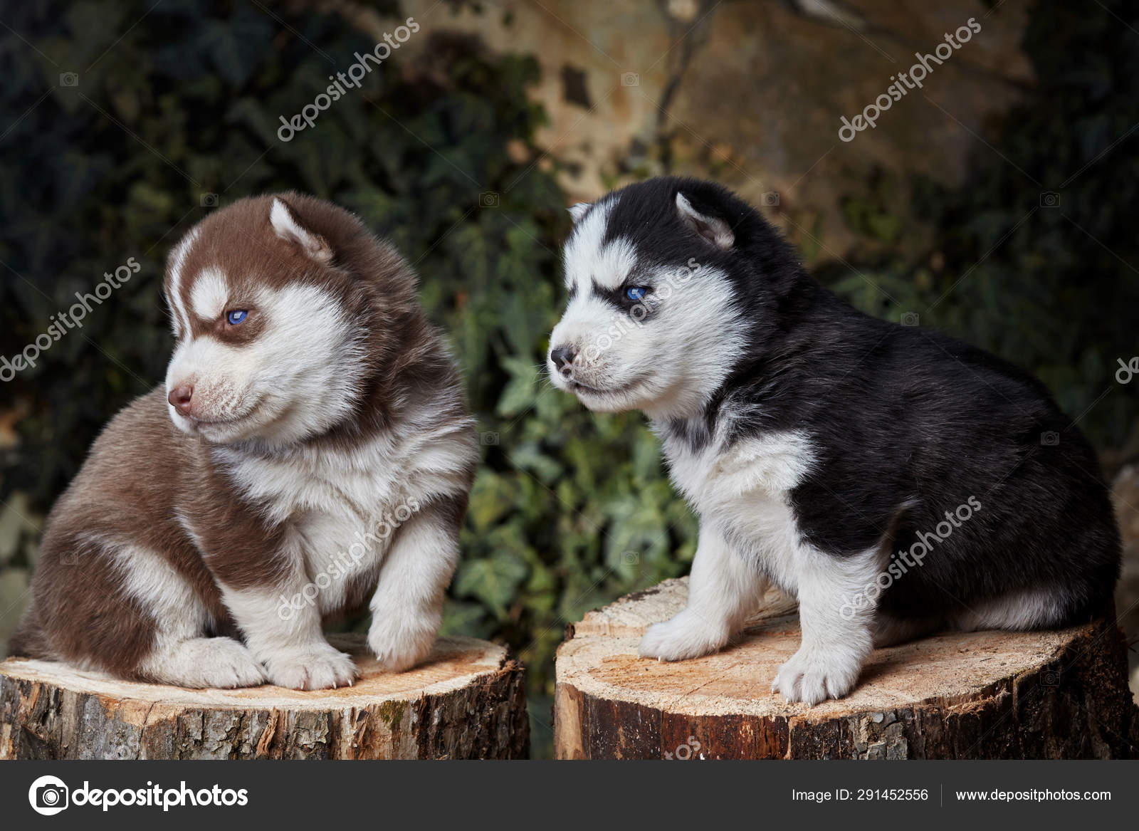 Two Newborn Siberian Husky Playing Brown And Black Puppy Siberian Husky Siberian Husky Copper And Black Color Stock Photo C Simplesseller Gmail Com 291452556