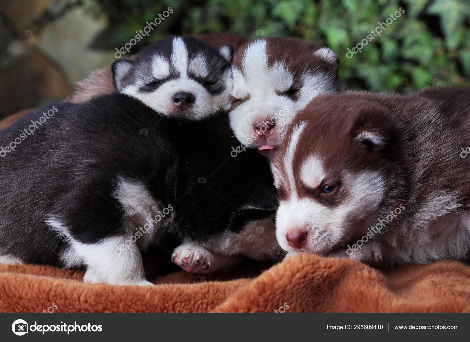 Newborn Siberian Husky Puppy Siberian Husky Siberian Husky Copper And Black Color Sleep On Carpet Stock Photo C Simplesseller Gmail Com 295609410