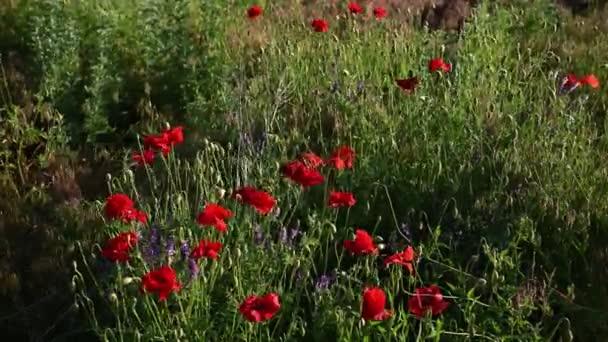 Repülés a vörös mákok mezeje felett naplementekor. Gyönyörű virágok és tavaszi természet összetétele