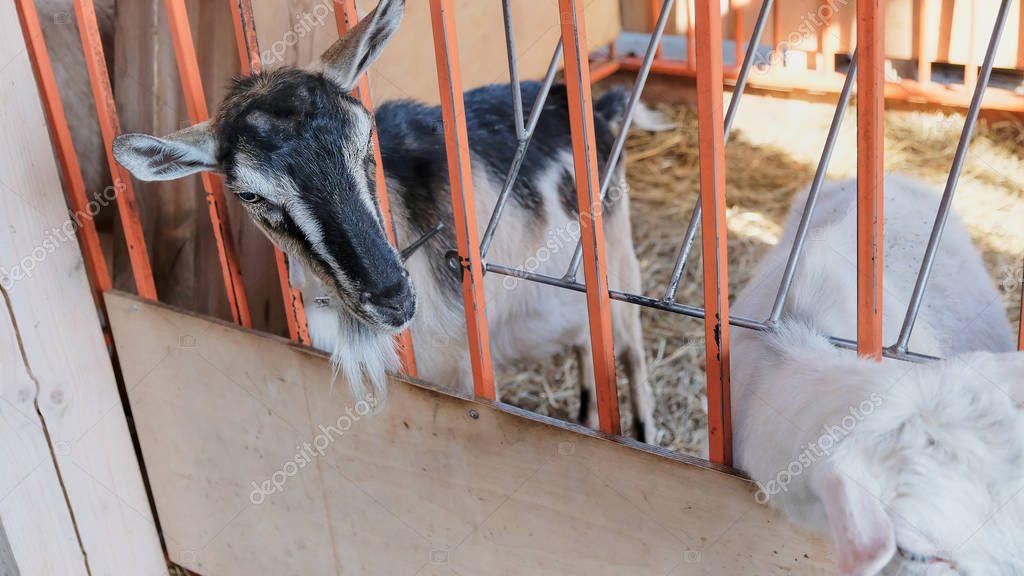 White goat in village in autumn day
