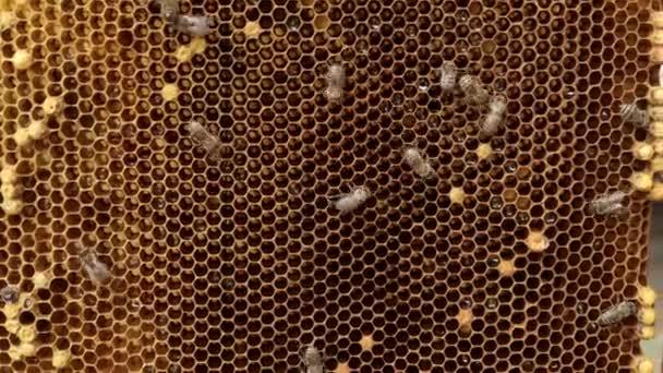 Méhecske a fésűn. A méhek közelsége a méhészeti méhészetben a nyár folyamán - szelektív fókusz