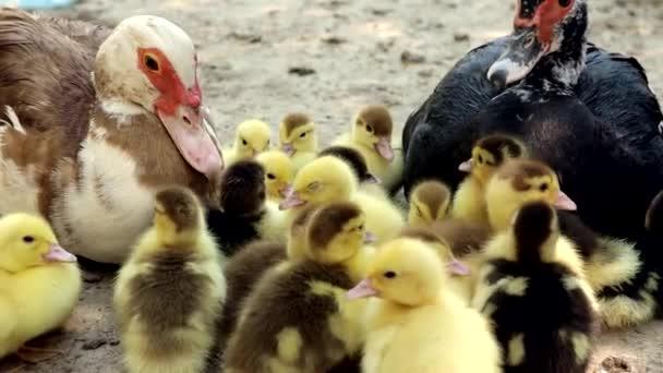 kachny na farmě venku. hospodářská zvířata. chov ptáků husy a kachny
