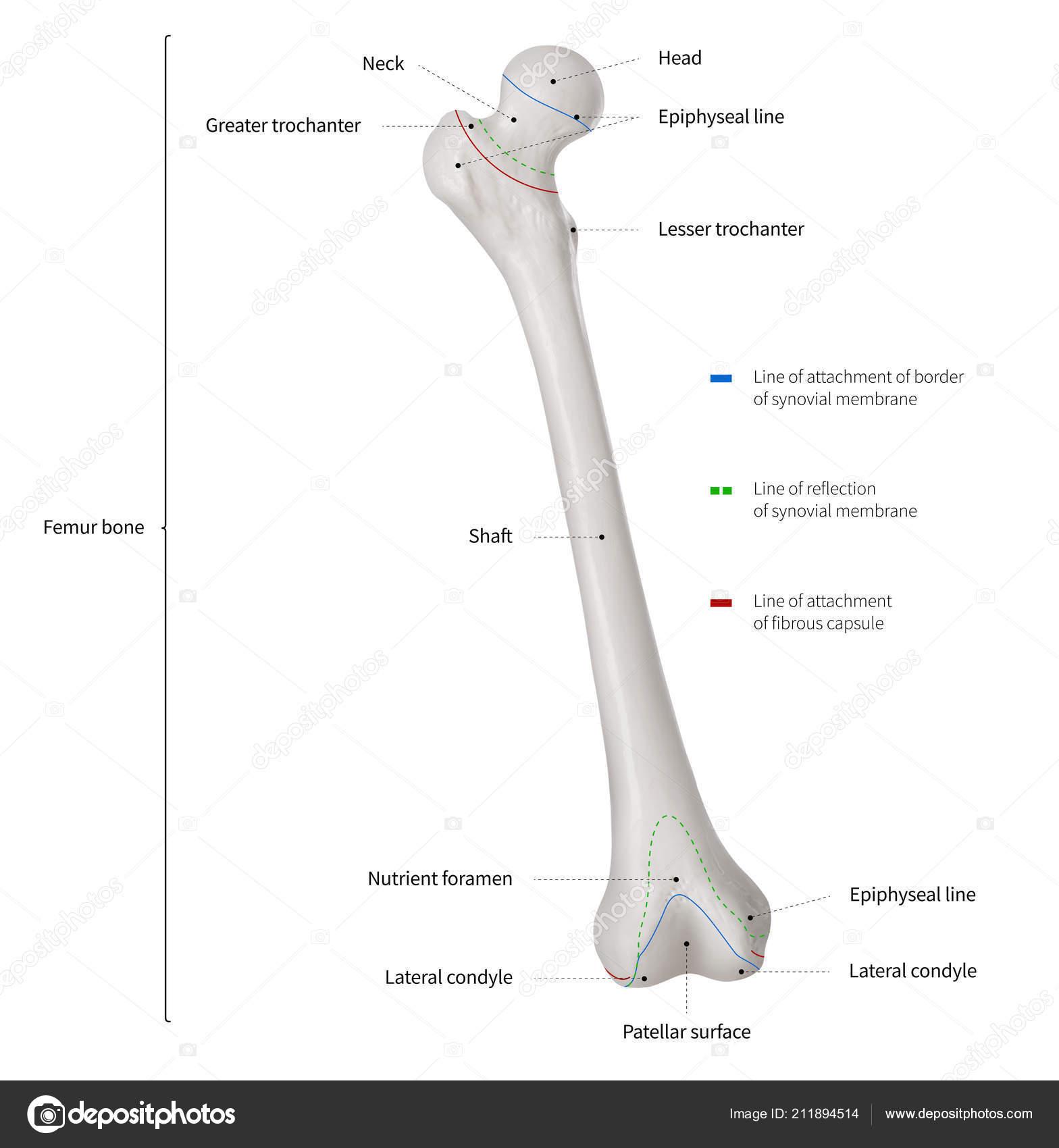 Infographic Diagram Human Femur Bone Leg Bone Anatomy System