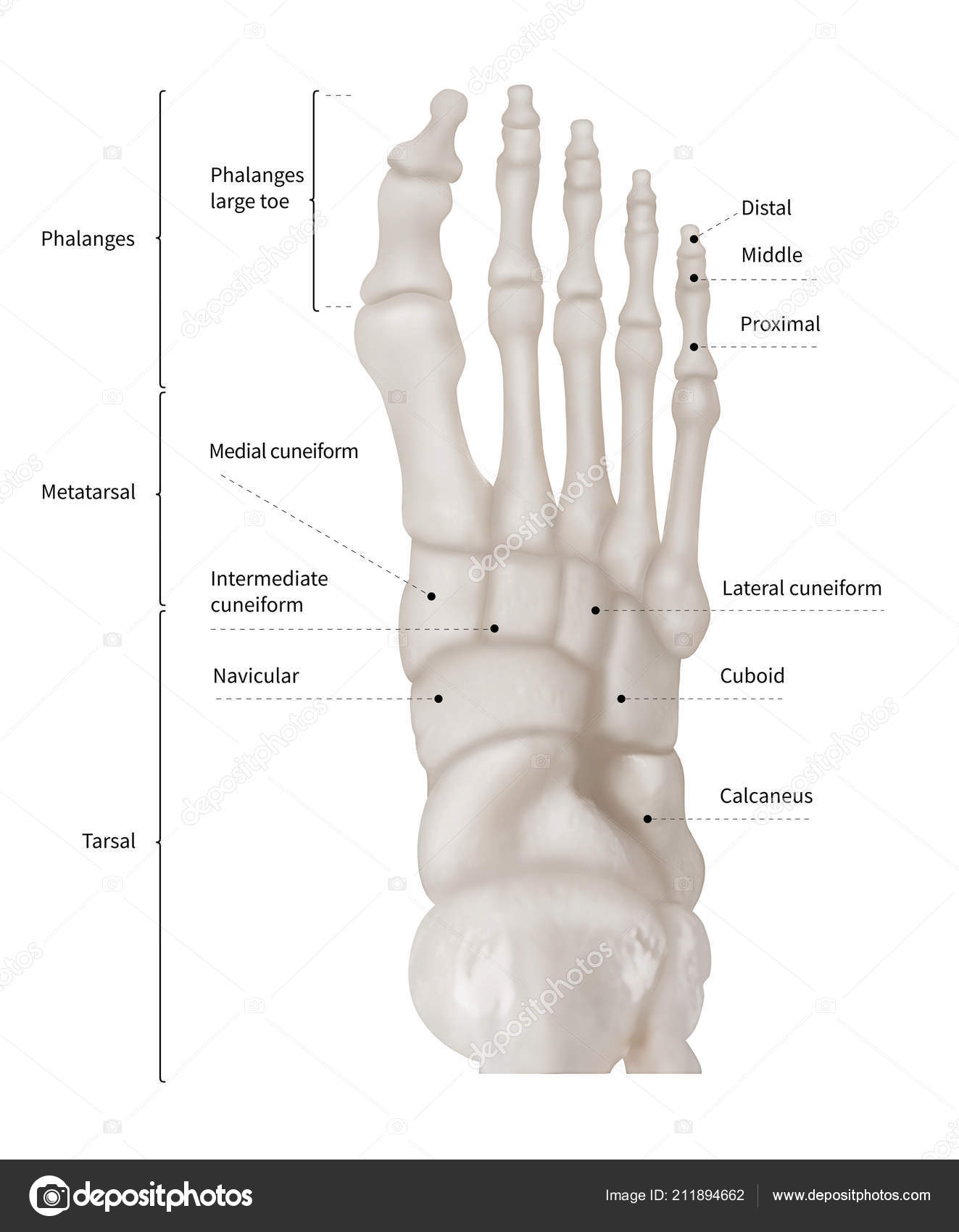 Infographic Diagram Human Foot Bone Anatomy System Anterior View