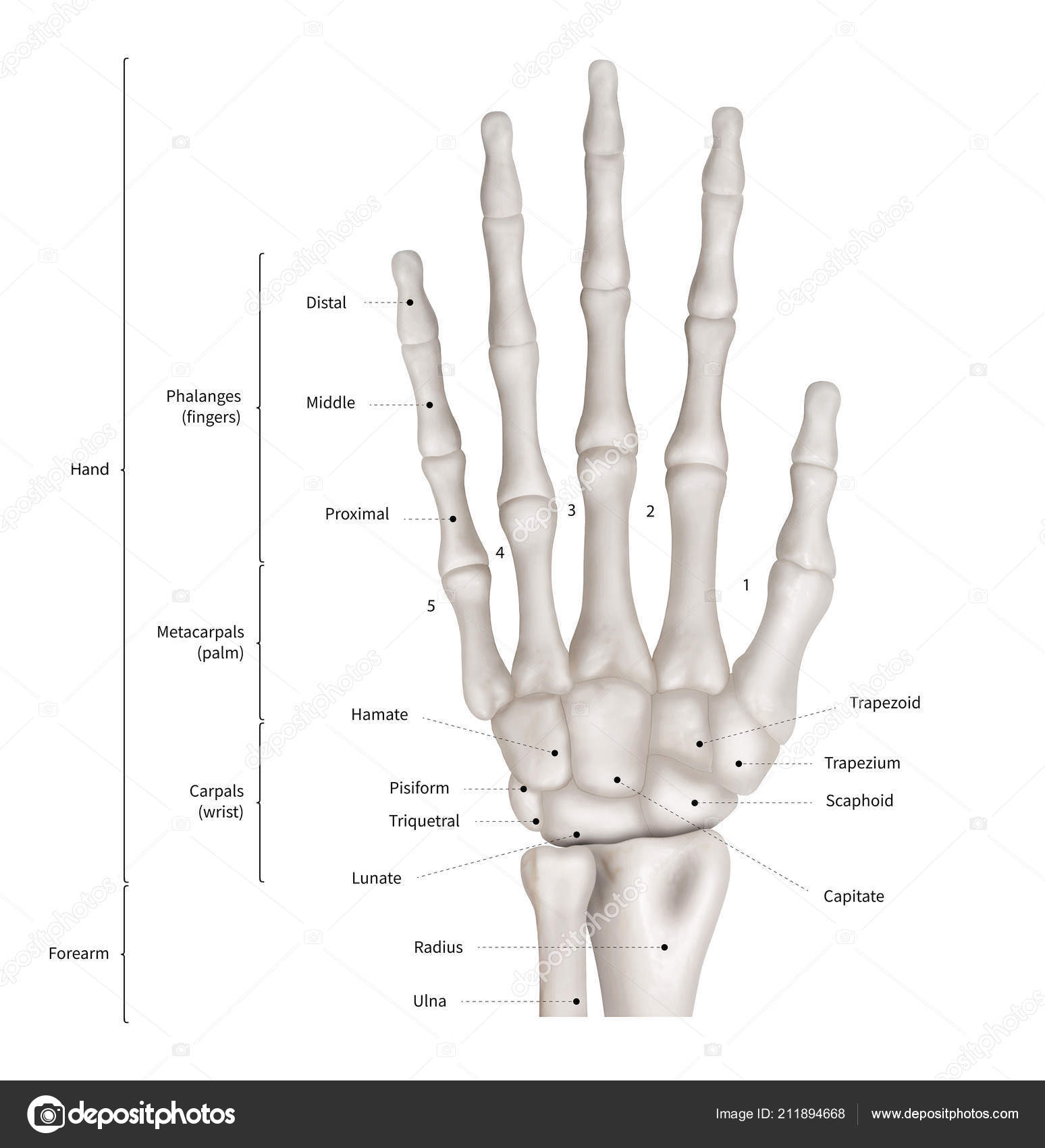Diagrama Relacional Mano Humana Anatomía Sistema Anterior Vista ...