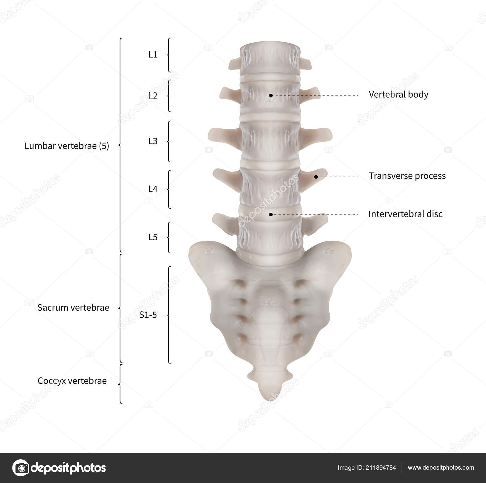 infographic diagram human lumbar vertebrae sacrum spine bone anatomy system  — stock photo
