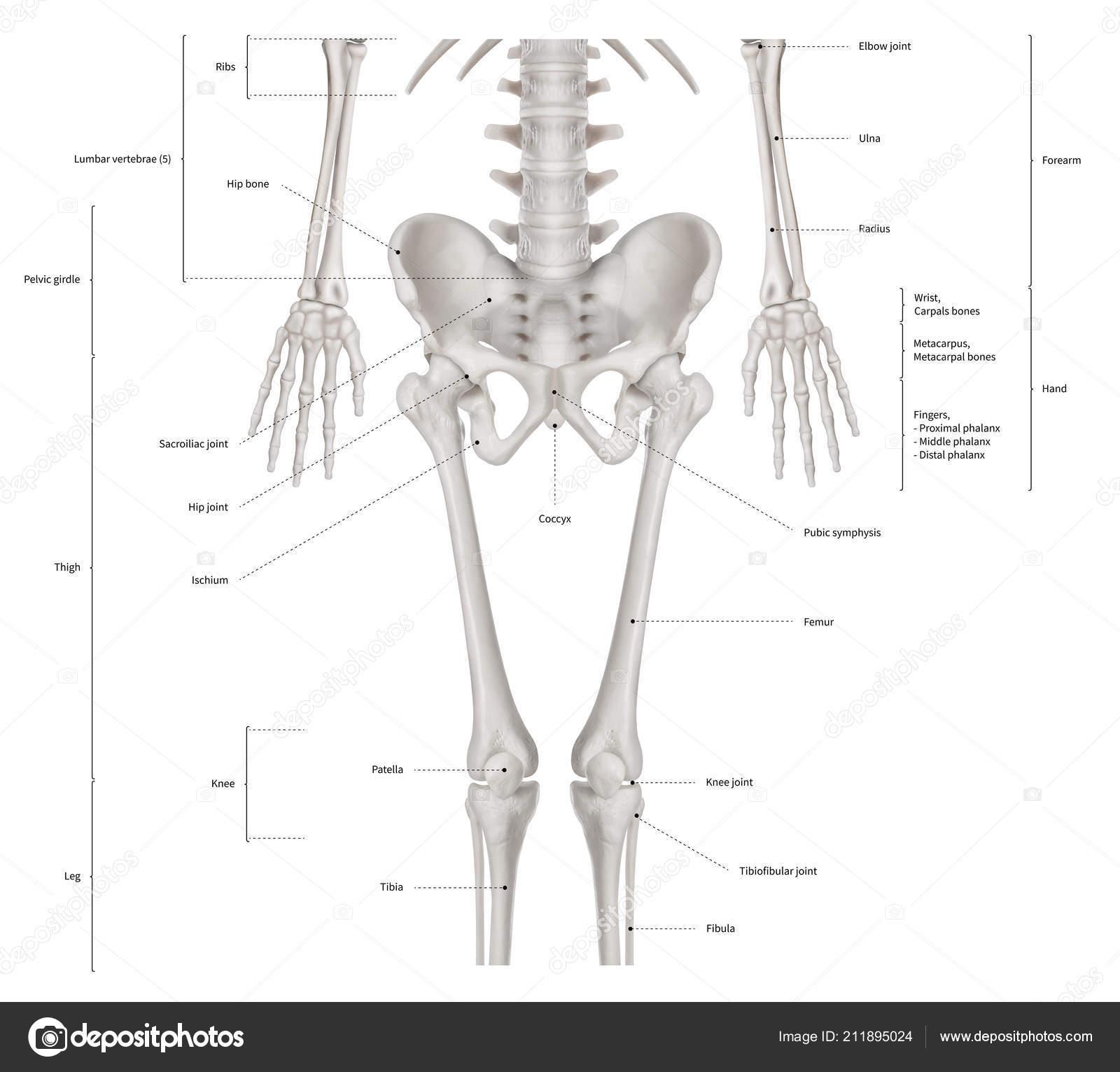 Esquema Infográfico Bajar Medio Esqueleto Anatomía Sistema Anterior ...