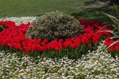 """Картина, постер, плакат, фотообои """"Красные тюльпаны, цветущие в весеннем саду"""", артикул 201142694"""
