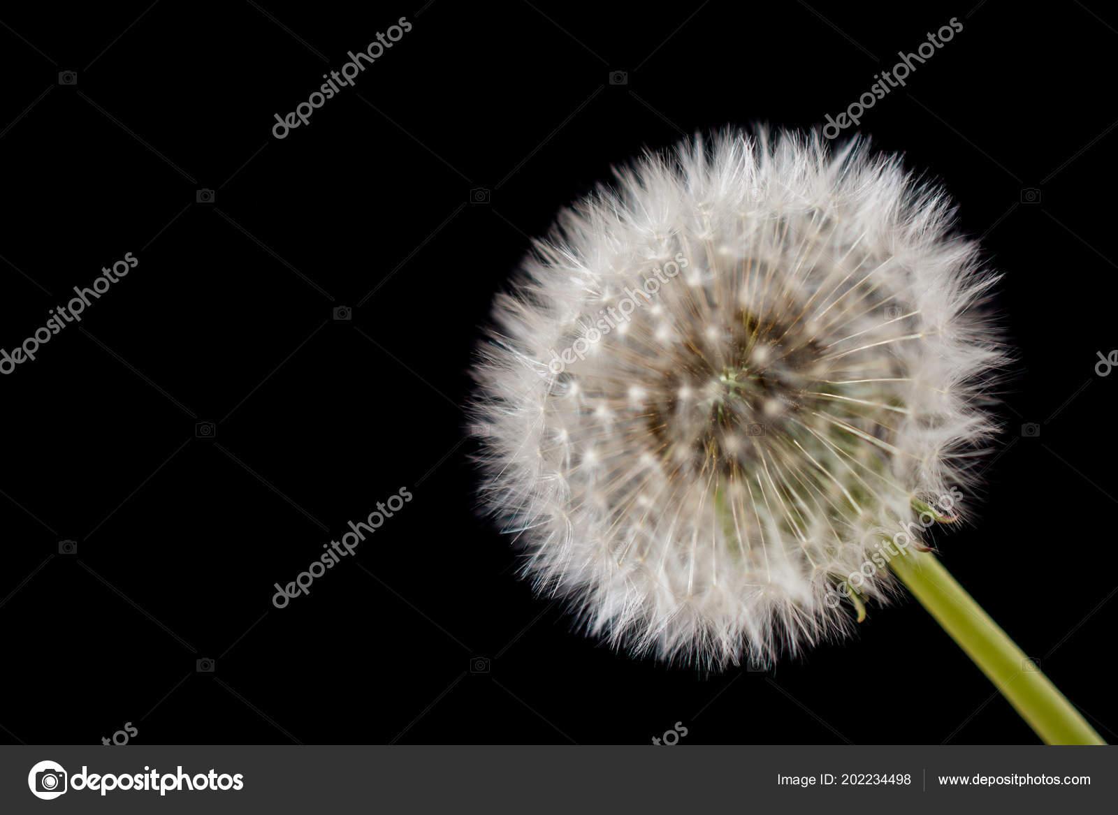 Fleur Pissenlit Blanc Sur Fond Noir Photographie Turgayada Hotmail