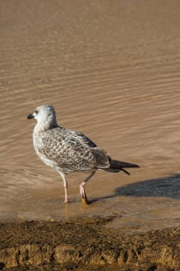 Seagull on ground  with muddy water