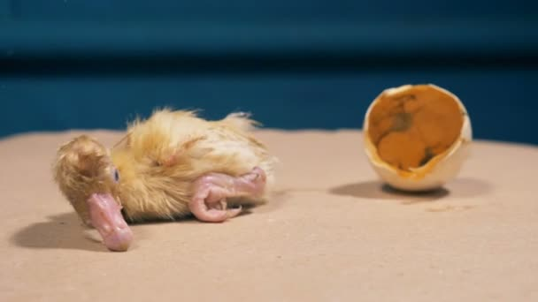 Newly-hatched baby duckling is crawling away from the broken eggshell