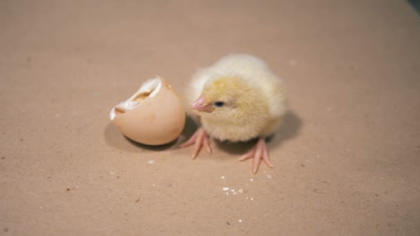 Newborn duckling is out of its eggshell, close up.