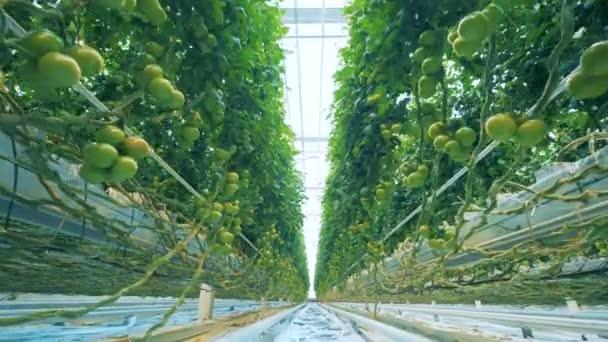 Grosse Pflanzen In Einem Gewachshaus Stockvideo C Svmedia21 Gmail