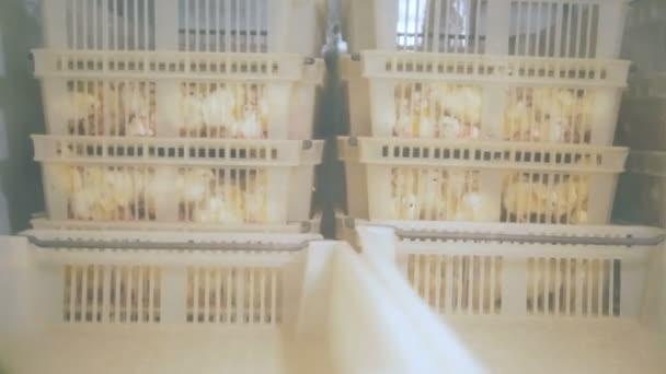 Plastové boxy s dítě kachny jsou vidět přes kruhový otvor v inkubátoru.