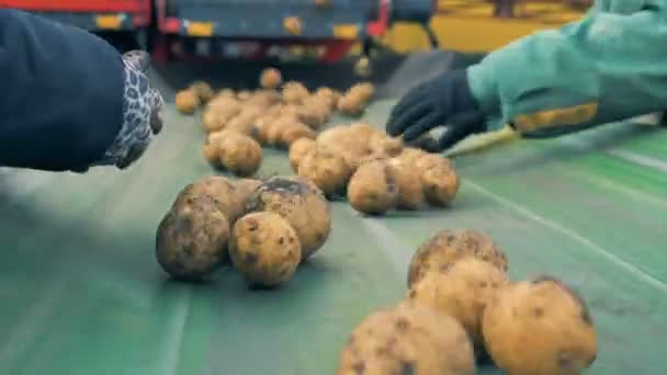 Two workers sort lots of potatoes on a line, close up.