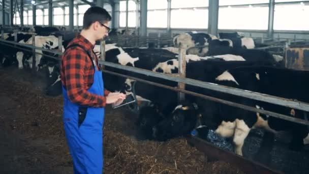 Mužské pracovník při pohledu na krávy a provoz tabletový počítač