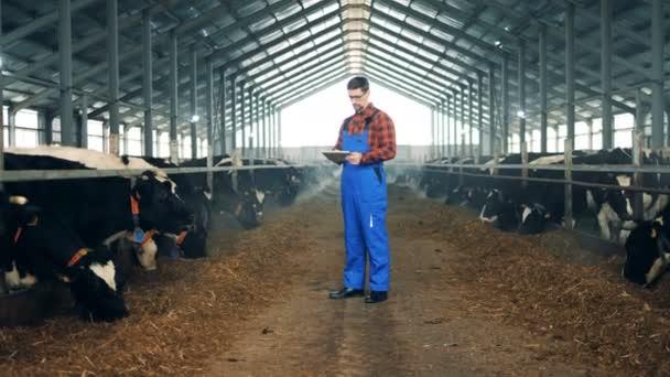 Kravín s muž zaměstnanec a mnoho krav. 4k