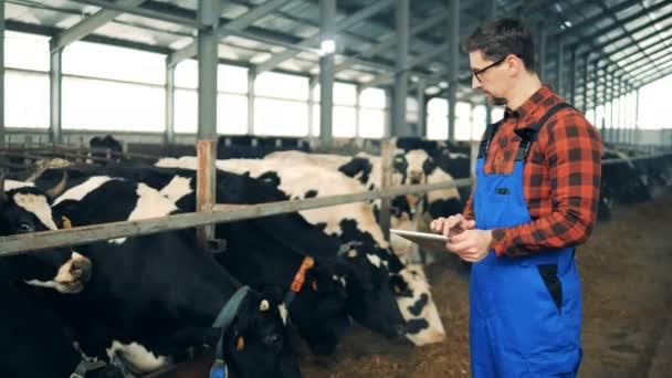 Člověk kontroluje krávy ve stodole, psaní na tabletu, zblízka.