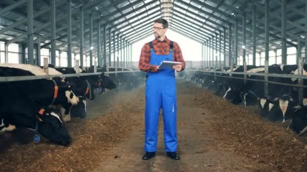 Muž typy na tabletu, stojící v stodole kráva, zblízka.