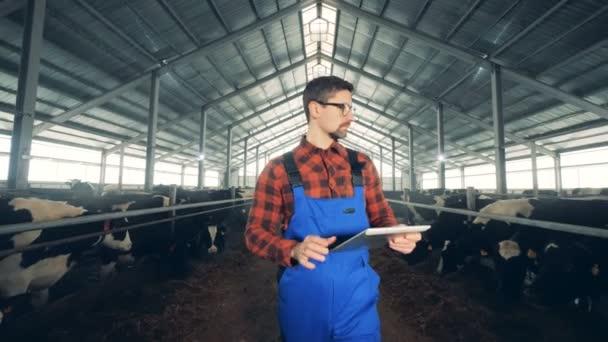 Krávy v kroutíš se kontrolují moderní farmář.