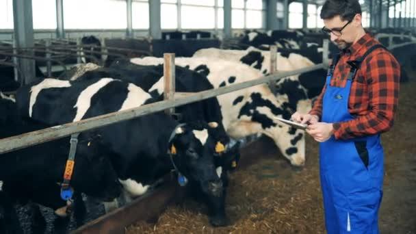Krávy jsou stále kontrolovány mužského expert