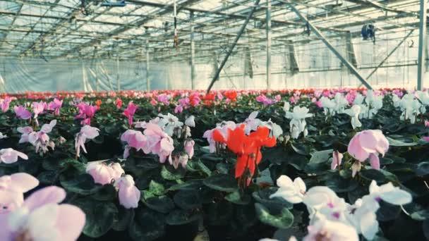 Sok cyclamens, modern üvegházhatást okozó növekvő virágok. Virágok óvoda üvegházhatású.