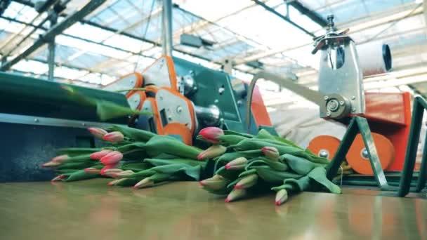 Květiny průmysl, květiny. Tulipány listy jsou hlášeny na dopravník
