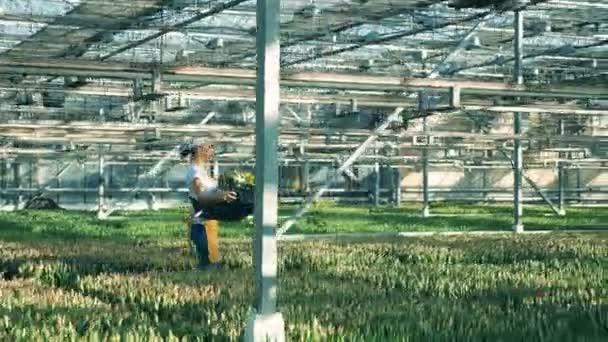 Pracovník ve skleníku drží košík s tulipány při chůzi.