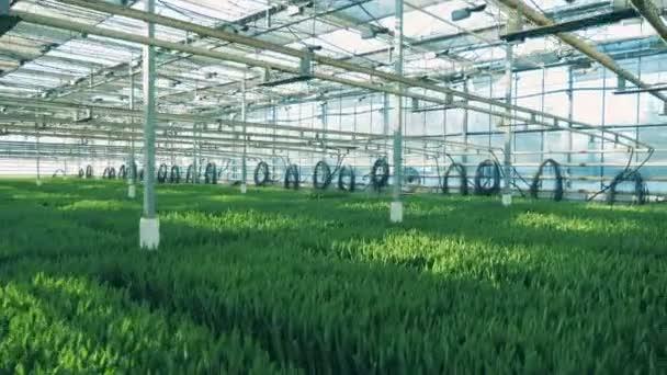 Zelené rostliny rostou v řadách uvnitř velkého skleníkového.