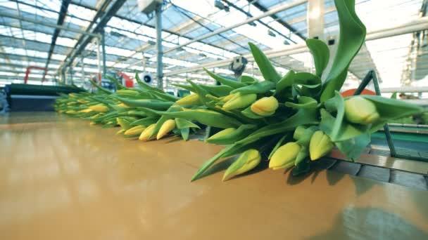 Mnoho kytice se žlutými tulipány se pohybují po automatizované lince ve skleníku.