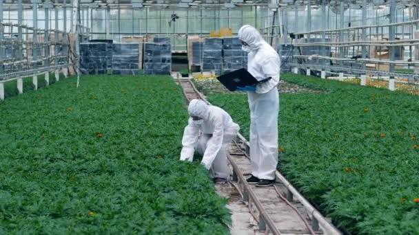 Két botanikusok ellenőrzi növények cserépben egy Glasshouse. Gyógyszertári injekciós növényvédő szerek.