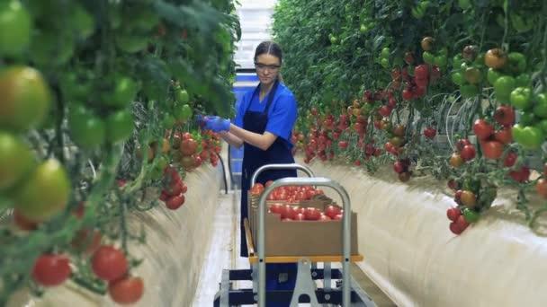 Ein Bauer pflückt Tomaten und legt sie in eine Kiste.