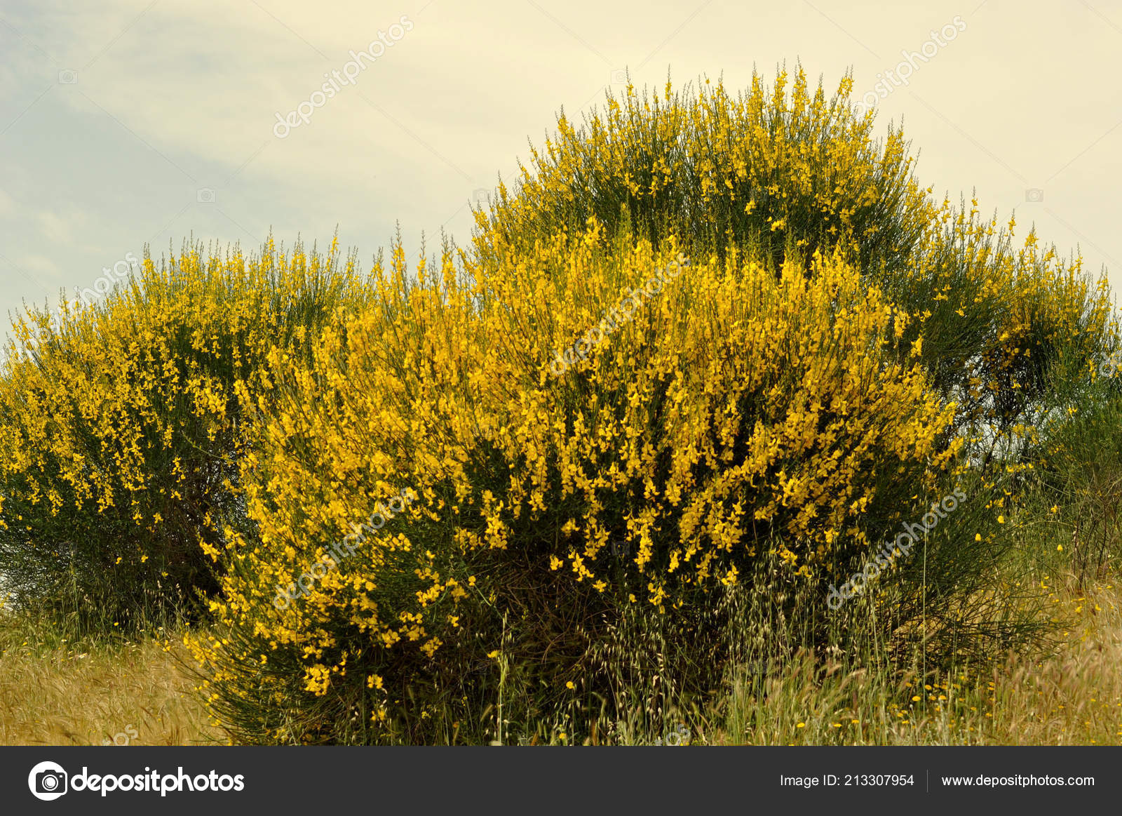 Broom Bushes Yellow Flowers Stock Photo Eskaparate 213307954