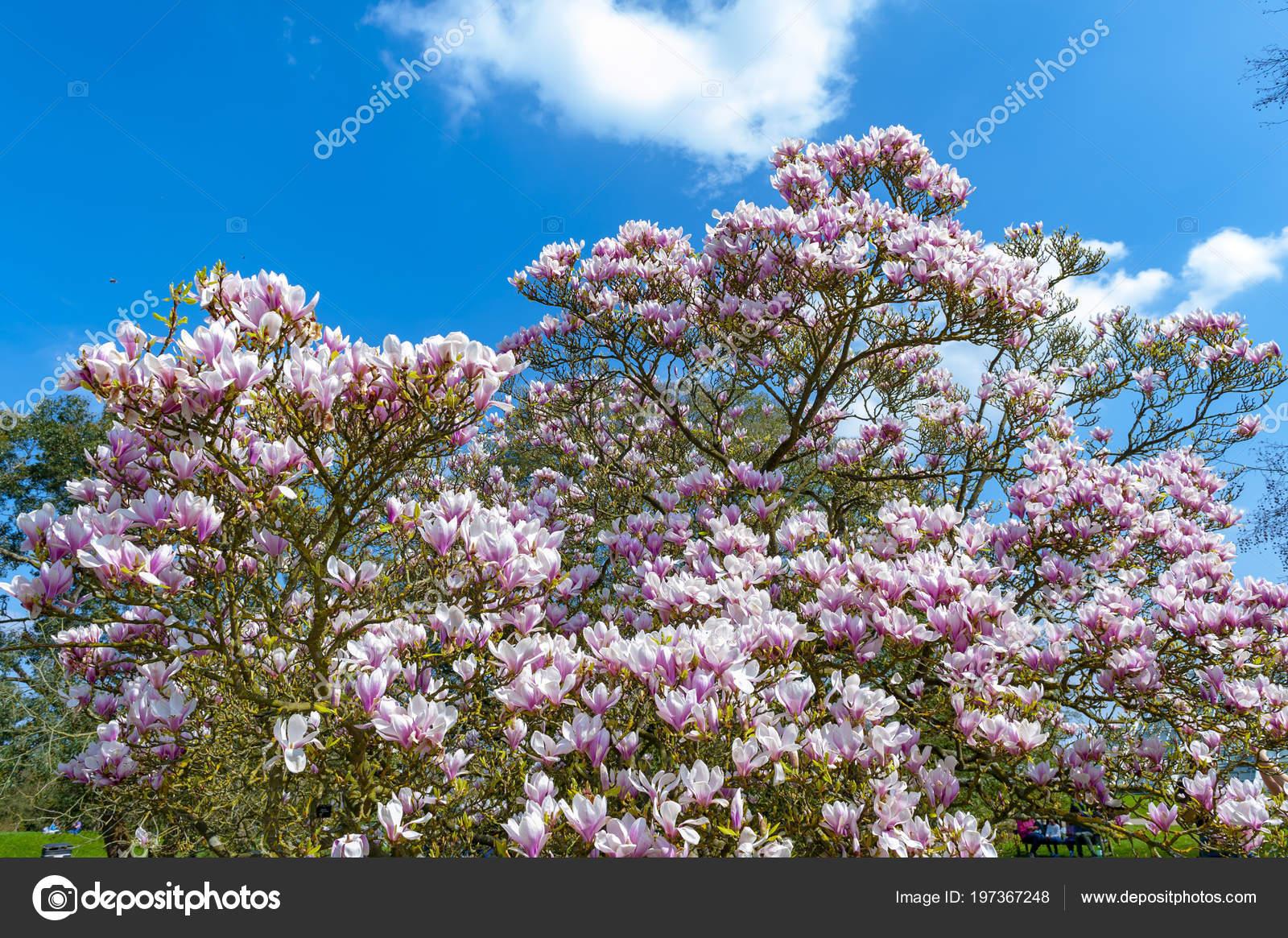 Flowering Branches Saucer Magnolia Magnolia Soulangeana Hybrid