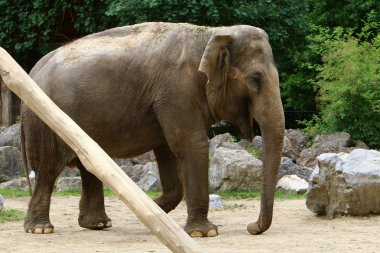 the big elephant lives in a zoo in the city of Ljubljana, the capital of Slovenia