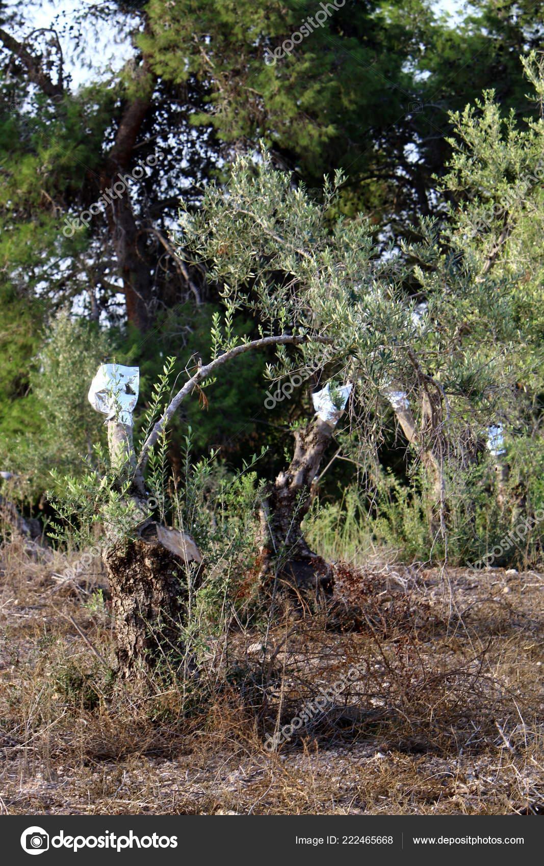 Pfropfen Der Bäume Garten Mit Alten Olivenbäumen Norden Israels
