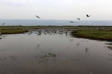 migratory birds in the national bird sanctuary Hula located in northern Israel