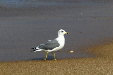 seagulls on the shores of the Mediterranean in northern Israel