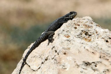 The lizard sits on a hot stone and enjoys the morning sun. Wildlife and fauna in Israel