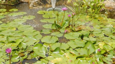 Purple pink water Nymphaea in a pond with a fountain. Water garden. Beautiful flower. Vietnam.