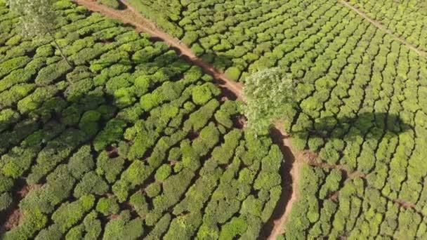 Piantagioni di tè con vista aerea dellIndia. Stato del Kerala. Vicino al lago Matupetty.
