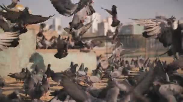 City pigeons in the square in Mumbai where pigeons are fed. Slow-motion video.
