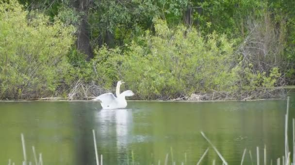 White wild swans on lake